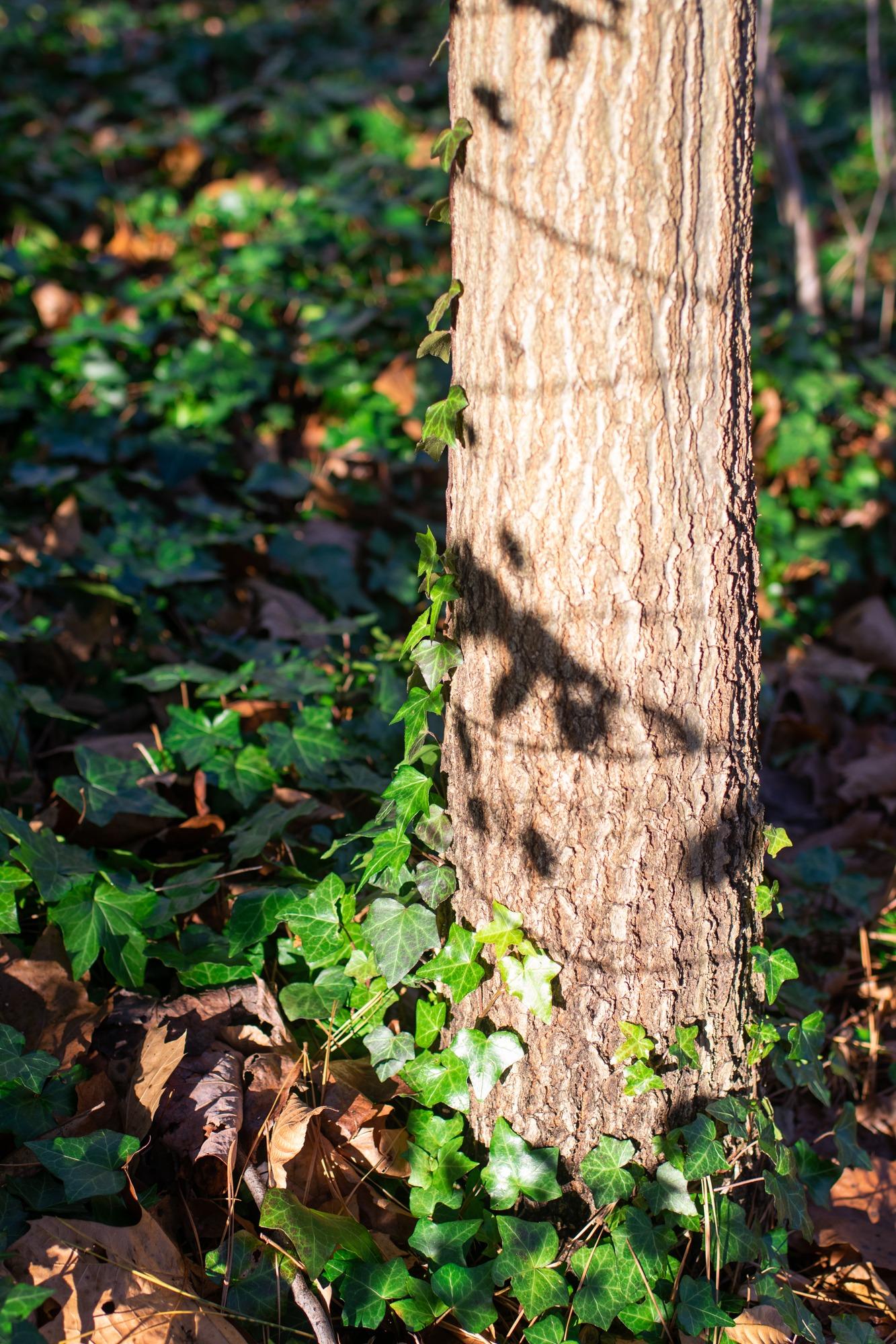 English ivy on tree trunk