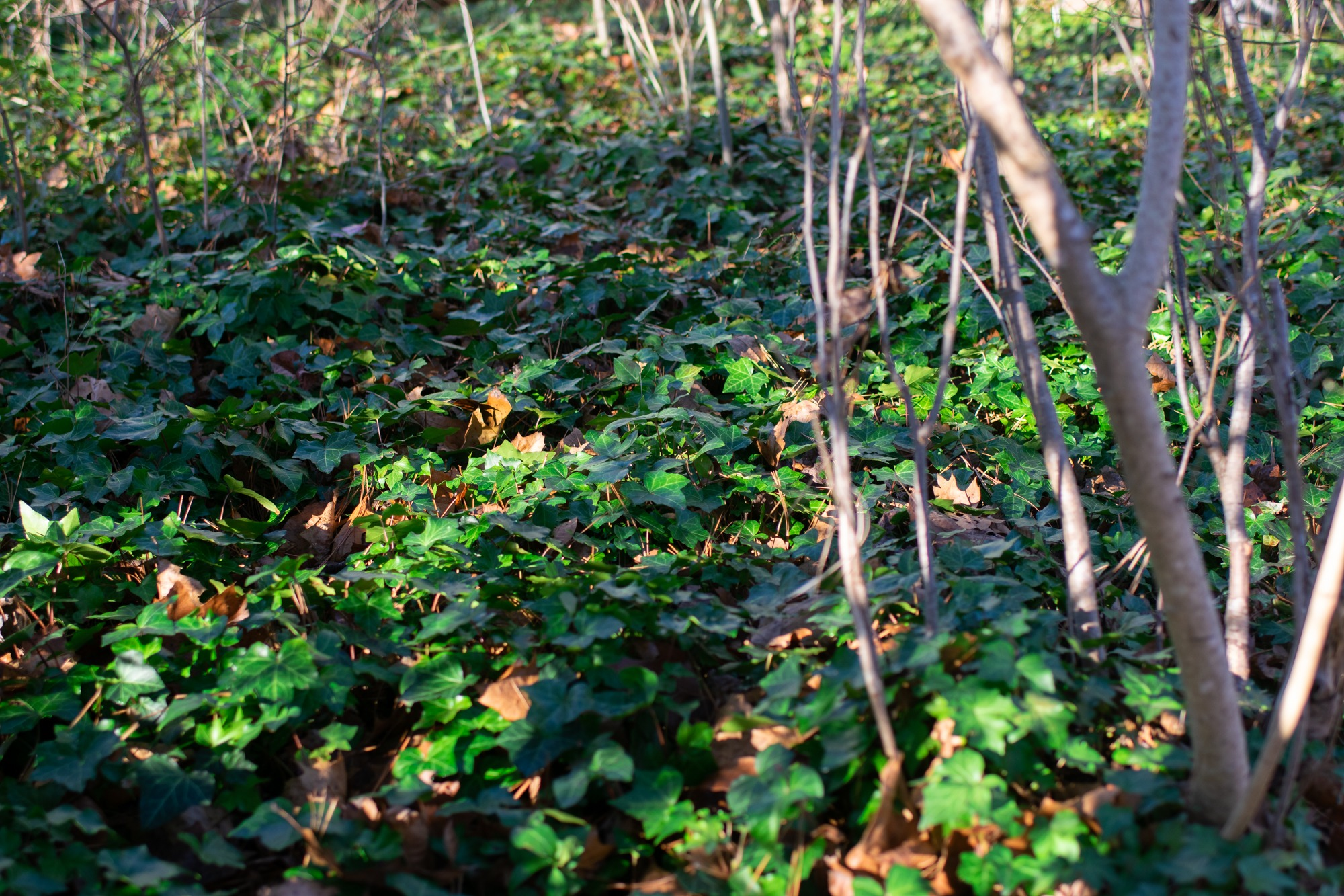 English ivy as groundcover