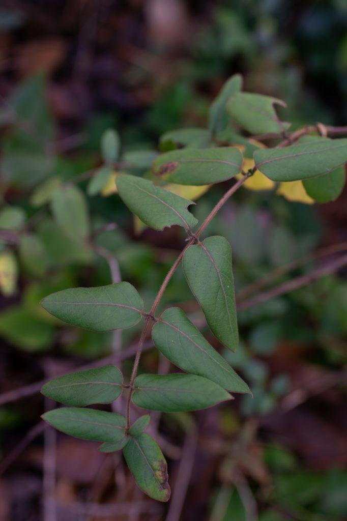 Lonicera japonica up close
