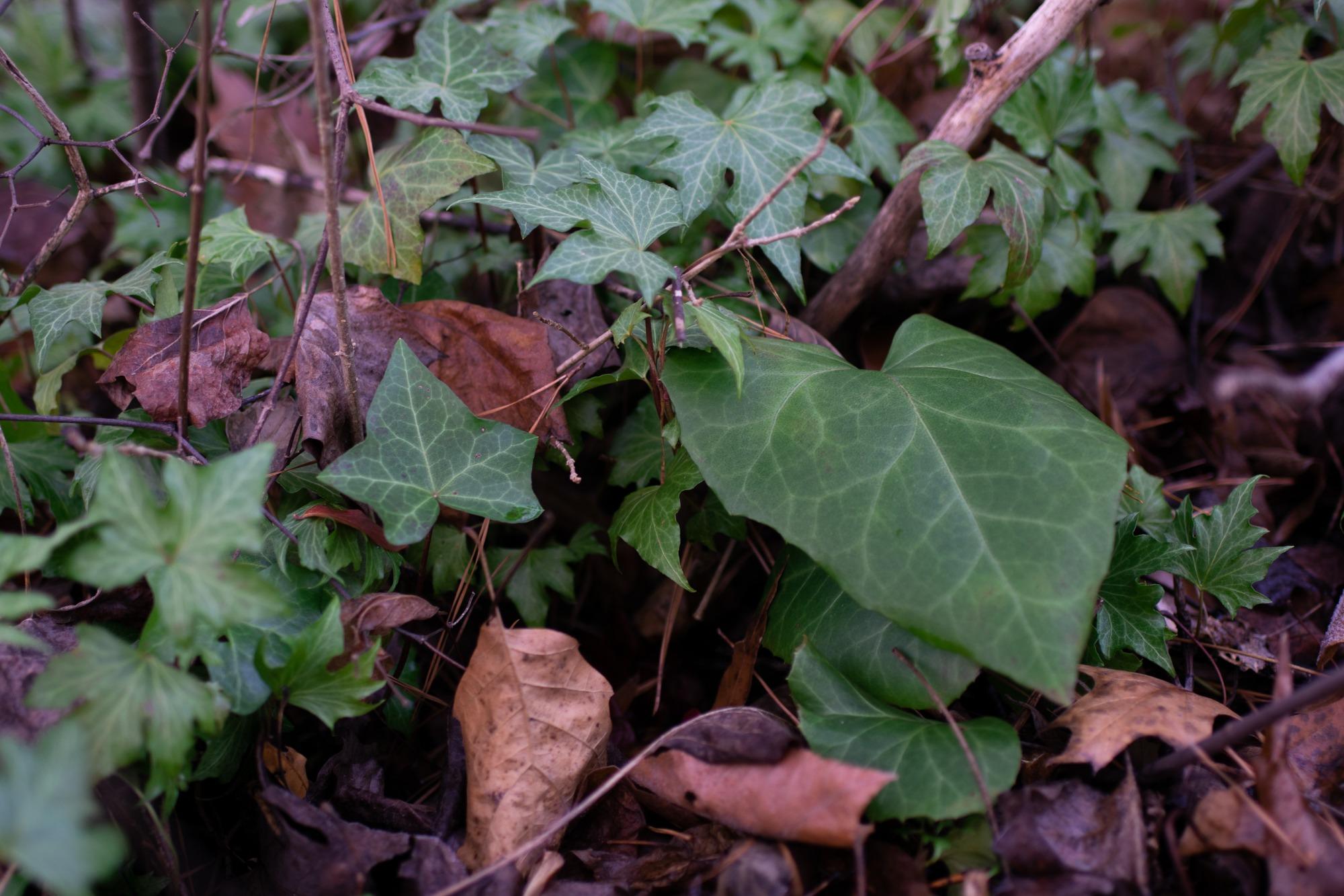 English ivy cultivars