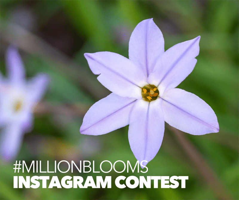 Graphic that reads #MillionBlooms Instagram Contest, over a photo of a purple flower.