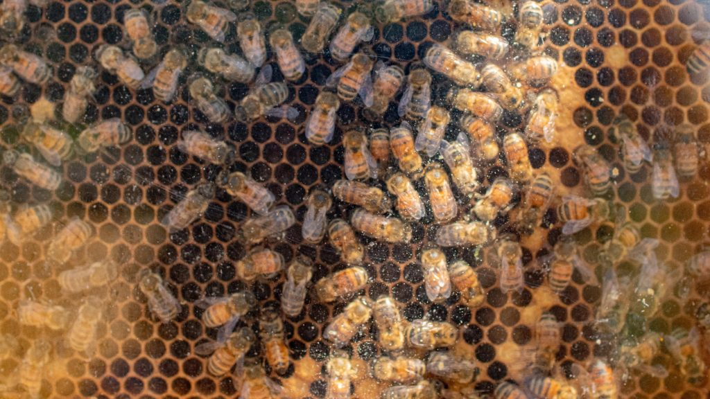a hive of honey bees -- hundreds of them
