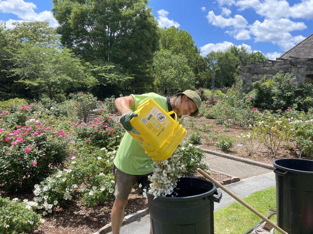 New seasonal gardener Brad heath dumping out rose clippings.
