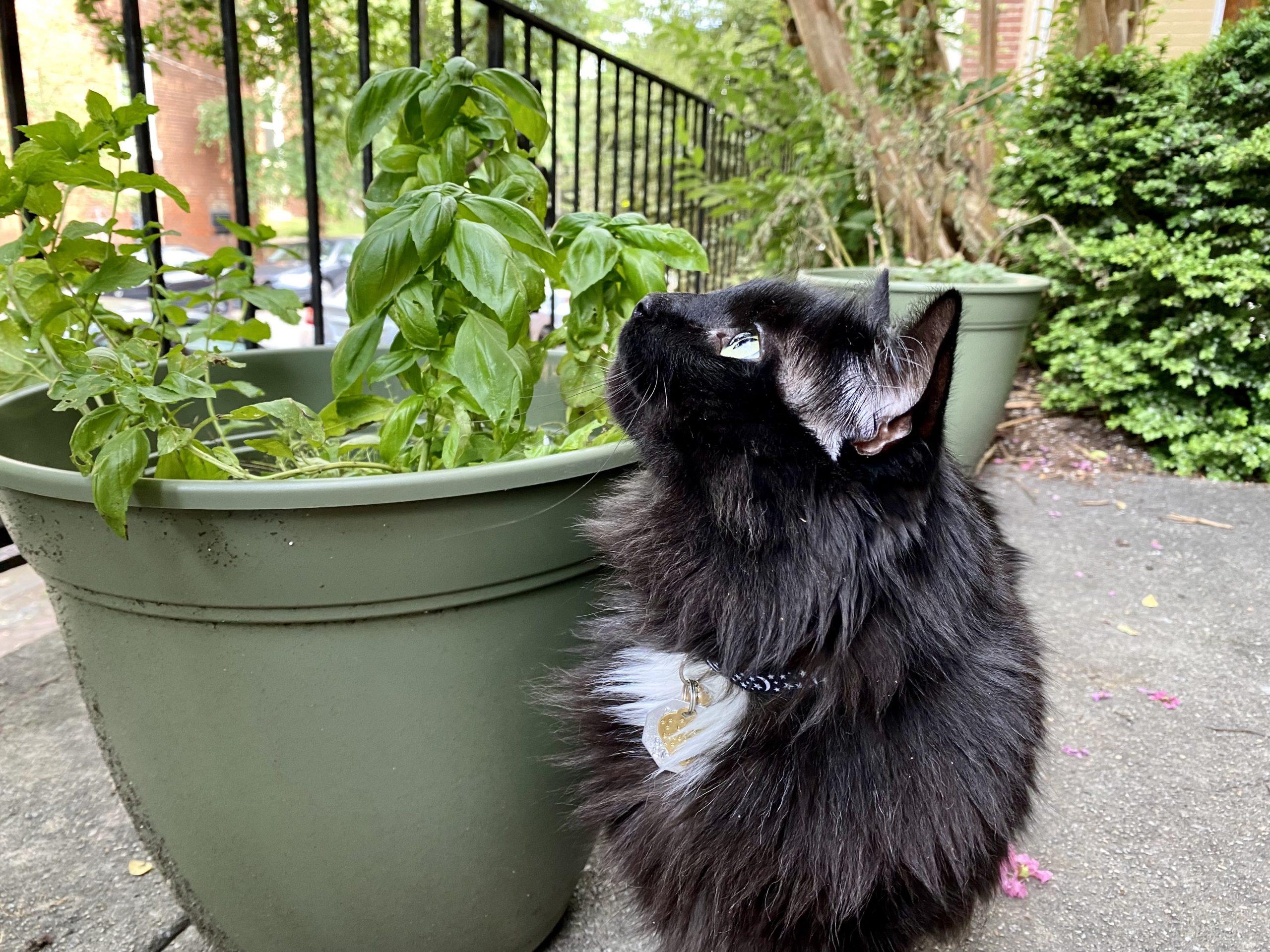 Natalie's cat, Bug, sniffs some potted basil