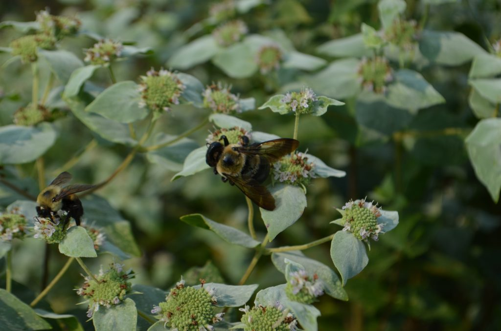 2 bees on mountain mint